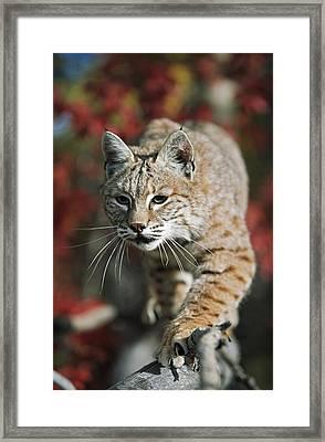 Bobcat Felis Rufus Framed Print by David Ponton