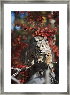 Bobcat Felis Rufus Walks Along Branch Framed Print by David Ponton