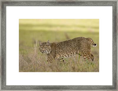 Bobcat Female Walking Santa Cruz Framed Print