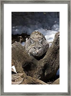 Bobcat  Framed Print by Jeff Grabert