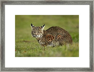 Bobcat Juvenile Santa Cruz California Framed Print