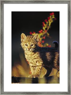 Bobcat Kitten Standing On Log North Framed Print