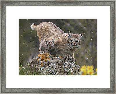 Bobcat Mother And Kitten In Snowfall Framed Print by Tim Fitzharris