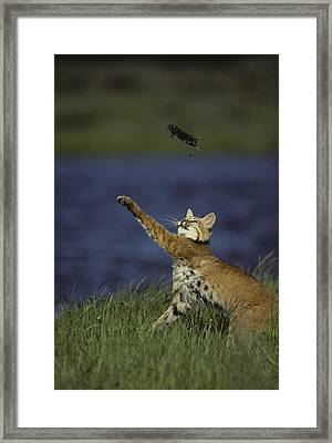 Bobcat Toys With Vole Framed Print by Michael S. Quinton