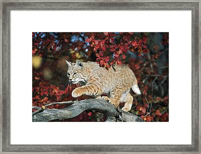 Bobcat Walks On Branch Through Hawthorn Framed Print