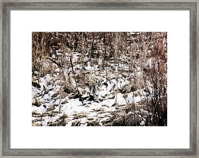 Framed Print featuring the photograph Bobcat Winter by Britt Runyon