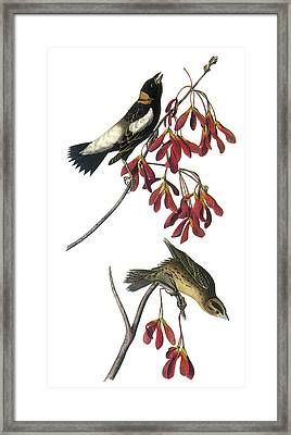 Bobolink Framed Print by John James Audubon