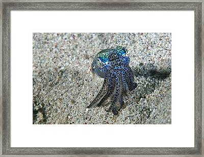 Bobtail Squid On The Seabed Framed Print
