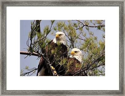 Bog River Eagles Close Up  Framed Print