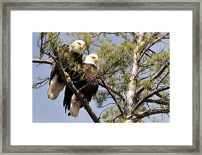 Bog River Eagles  Framed Print