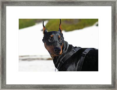 Bogie Black Doberman Framed Print by Renae Laughner