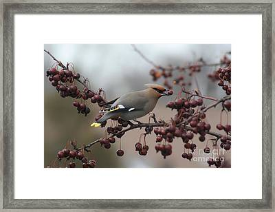 Bohemian Waxwing Framed Print by Chris Hill