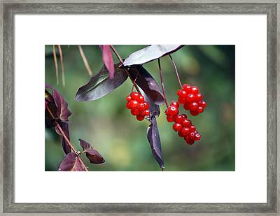 Bokeh Of Coffee Berry Framed Print
