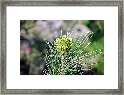 Bokeh Of Evergreen Framed Print