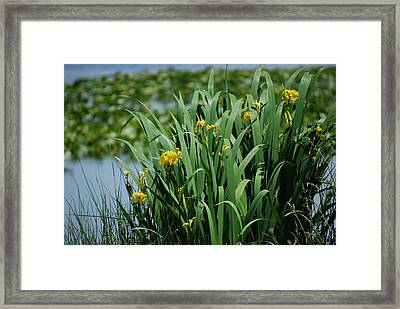 Bokeh Of Yellow Flag Water Iris Framed Print