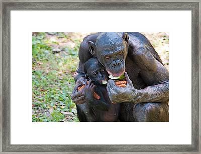 Bonobo 3 Framed Print by Kenneth Albin