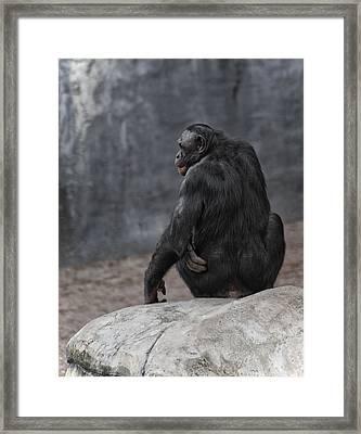 Bonobo Framed Print by Wade Aiken