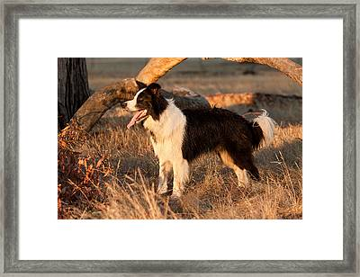 Border Collie At Sunset Framed Print by Michelle Wrighton