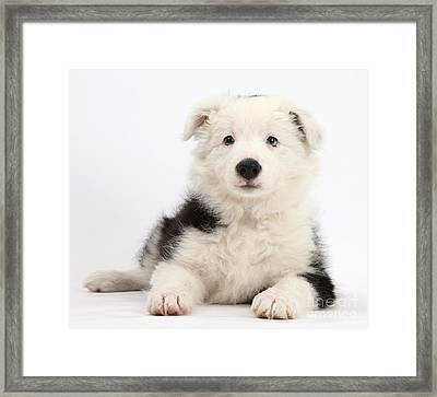 Border Collie Female Puppy Framed Print by Mark Taylor