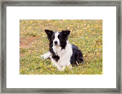 Border Collie In Field Of Yellow Flowers Framed Print