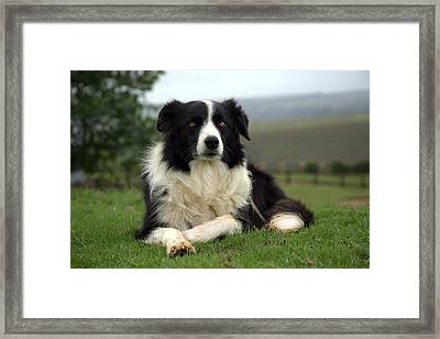 Border Collie Framed Print by Miguel Capelo