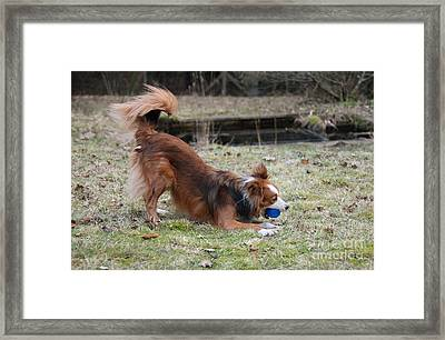 Border Collie Playing With Ball Framed Print by Mark Taylor