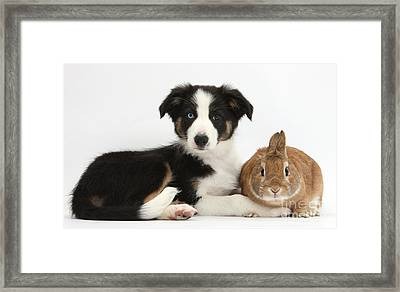Border Collie Pup And Netherland-cross Framed Print by Mark Taylor