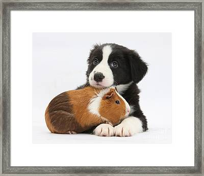Border Collie Pup And Tricolor Guinea Framed Print by Mark Taylor