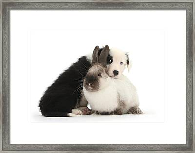 Border Collie Pup With Colorpoint Rabbit Framed Print