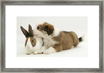 Border Collie Pup With Dutch Rabbit Framed Print by Jane Burton