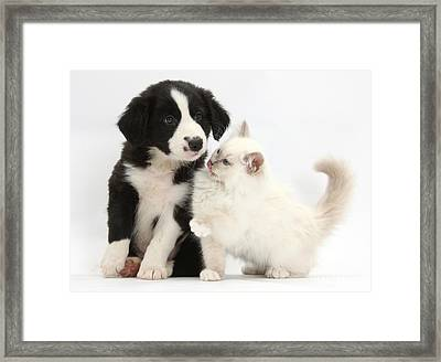 Border Collie Puppy And Colorpoint Framed Print