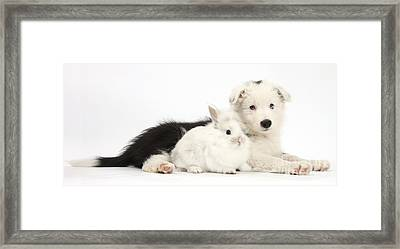 Border Collie Puppy With Baby Rabbit Framed Print by Mark Taylor