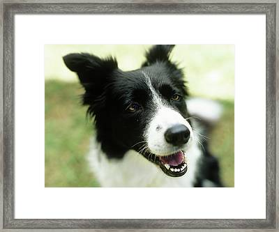 Border Collie Sitting On Grass,close-up Framed Print by Stockbyte