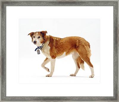 Border Collie With Bell Framed Print by Jane Burton