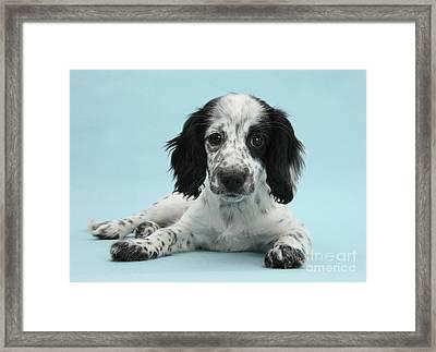 Border Collie X Cocker Spaniel Puppy Framed Print by Mark Taylor