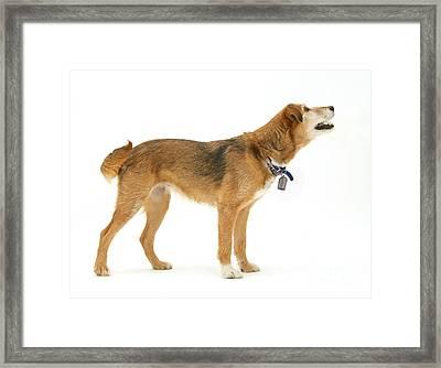 Border Collie X Lakeland Terrier Framed Print by Jane Burton