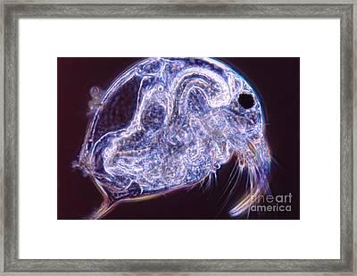 Bosmina Framed Print by M. I. Walker