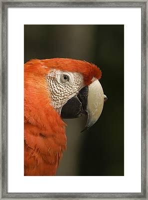 Boss Parrot Framed Print