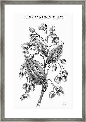 Botany: Cinnamon Plant Framed Print by Granger