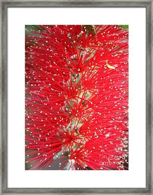 Bottle Brush Framed Print by Carol Groenen