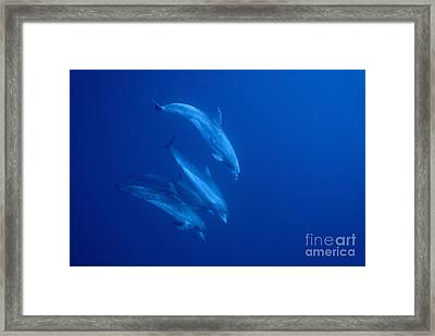 Bottle-nosed Dolphins Underwater Framed Print by Sami Sarkis