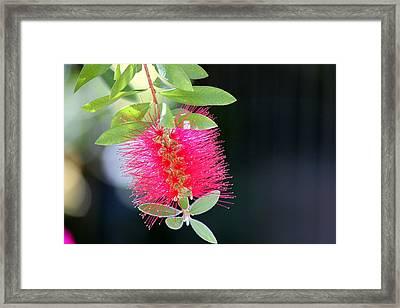 Bottlebrush Nectar Framed Print