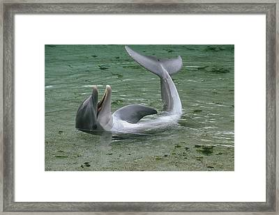 Bottlenose Dolphin Playing In Shallows Framed Print