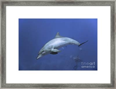 Bottlenose Dolphin Framed Print by Tom Peled