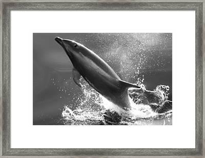 Bottlenose Dolphin, Tusiops Truncatus Framed Print by Ralph Lee Hopkins