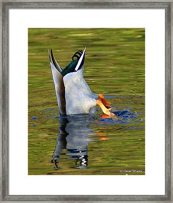 Bottoms Up Mallard Framed Print by DerekTXFactor Creative