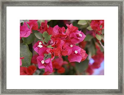 Bougainvillea Flowers Framed Print by Johnny Greig
