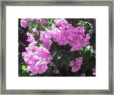 Bougainvillea Flowers  Framed Print by Lisa Williams