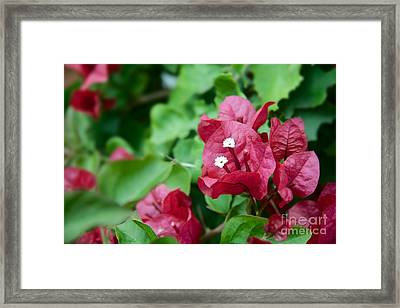 Bougainvillea San Diego Vibrant Red Flowers Closeup  Framed Print by Sherry  Curry