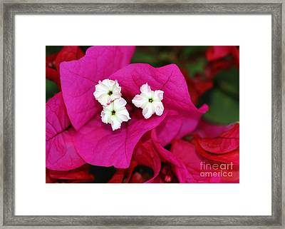 Bouganvillea Framed Print by Sabrina L Ryan